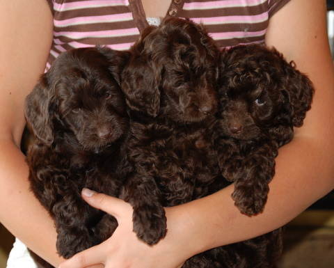 Labradoodle Puppies on Black And Chocolate Australian Labradoodle Puppies At Manor Lake