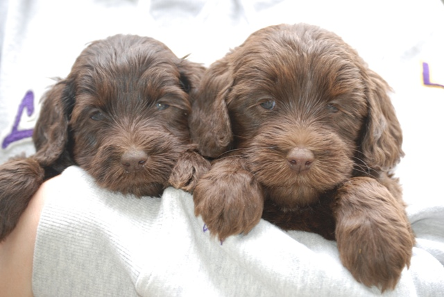 Chocolate Australian Labradoodle Puppies at Manor Lake. April 4, 2008