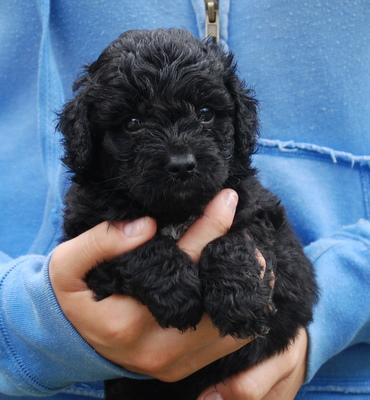 Darling Miniature Black Australian Labradoodle Puppy   Manor