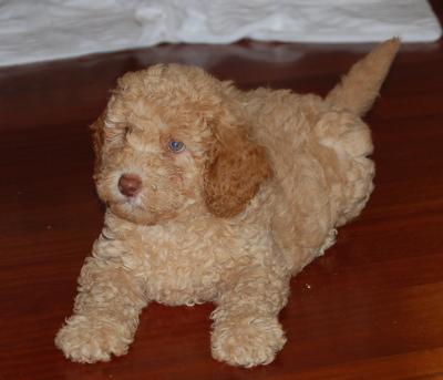 Labradoodle Puppies on Labradoodle Puppies   How To Judge A Puppy S Temperament