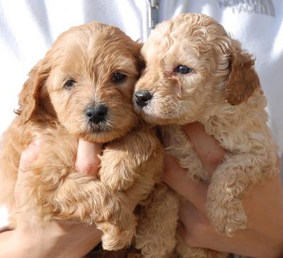 Jarrah S Australian Labradoodle Puppies Manor Lake